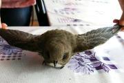 Yaralı Ebabil kuşu tedavi edildi